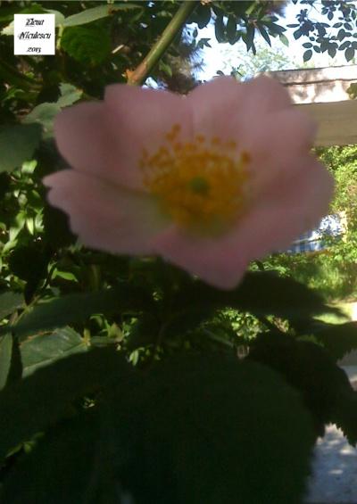 floare de maces pers