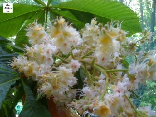flori de castan pers