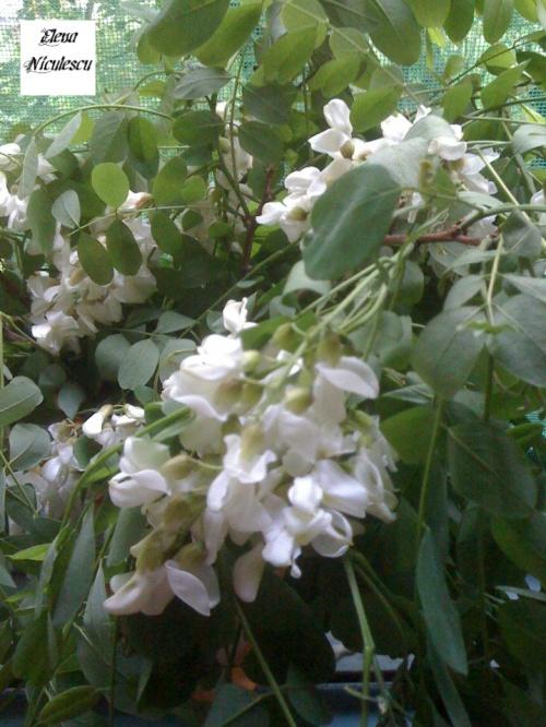 flori de salcam pers