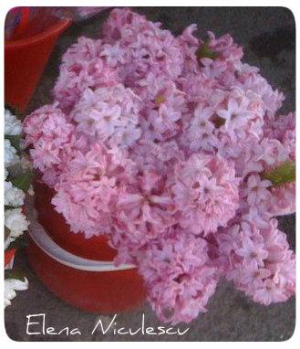 zambile roz