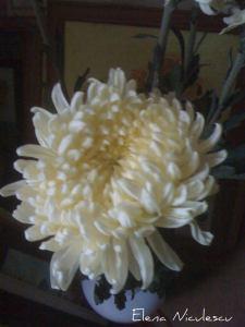 crizantema alba