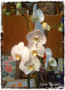 orhidee-alba