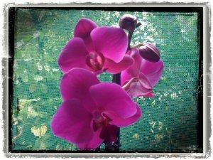 orhideea-cyclam