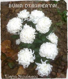 bd-cu-crizanteme-albe