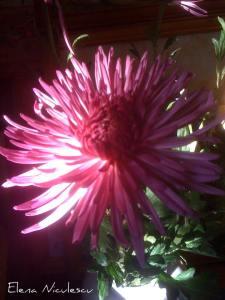 crizantema-13