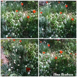 collage lalele 2 aprilie