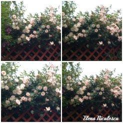 collage trand roz 3 iunie1