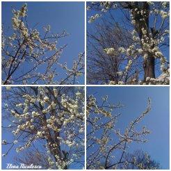 collage flori de prun 9 apr