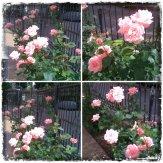 collage trand roz 30 mai