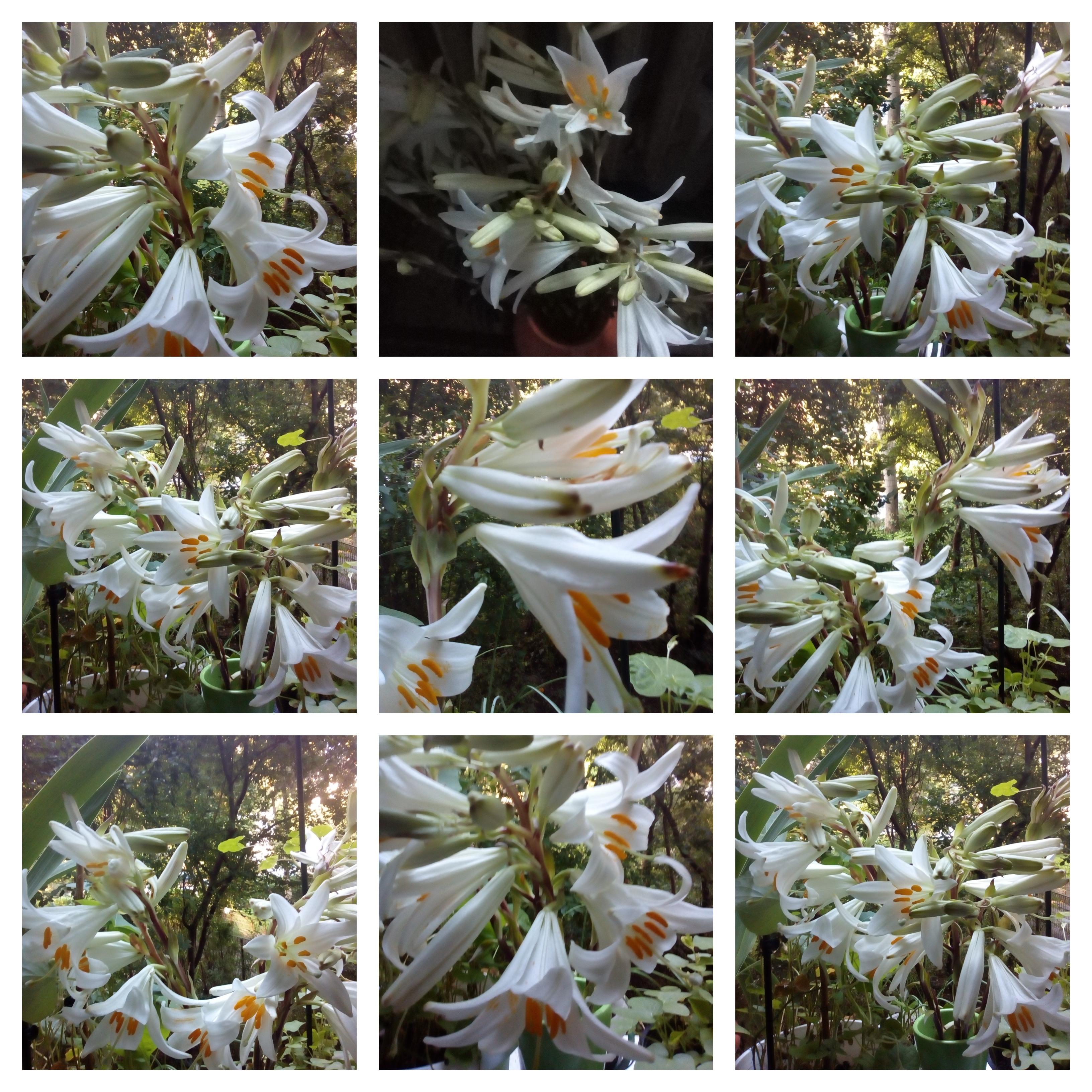 collage crini albi 13 iunie