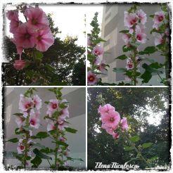 colaj 19 iunie nalbe roz