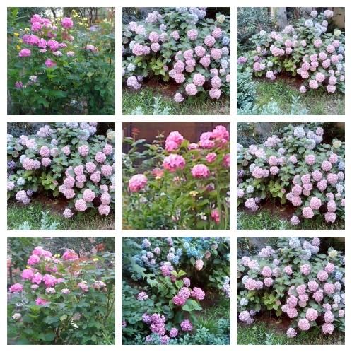 collage hortensii 3 iulie 20 - 21